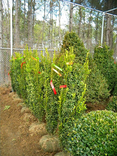 BUXUS GRAHAM BLANDY 42 and 48